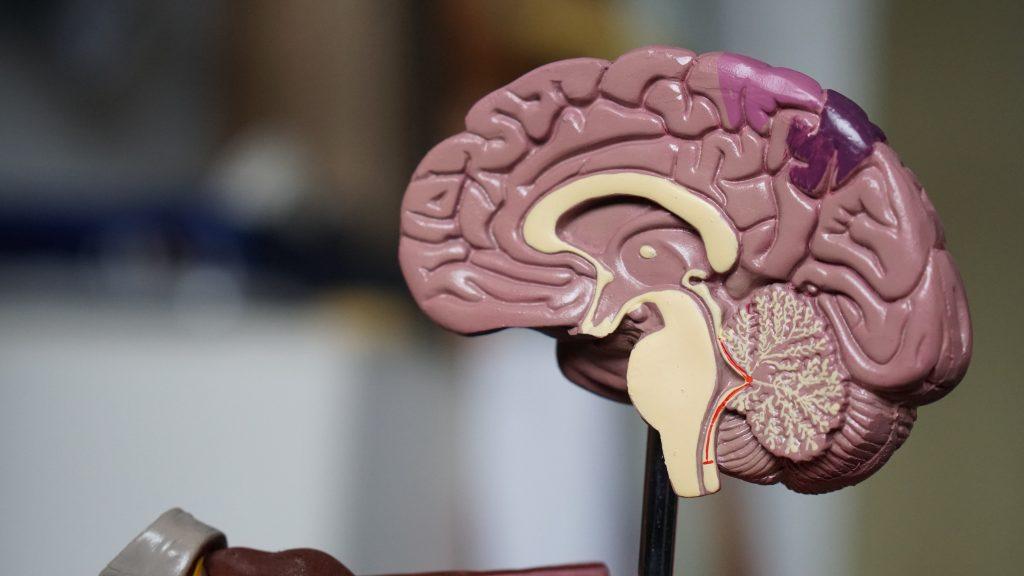 cerveau émotionnel limbique